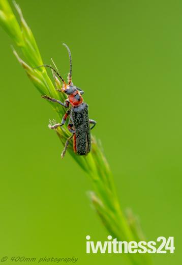 Solder beetle
