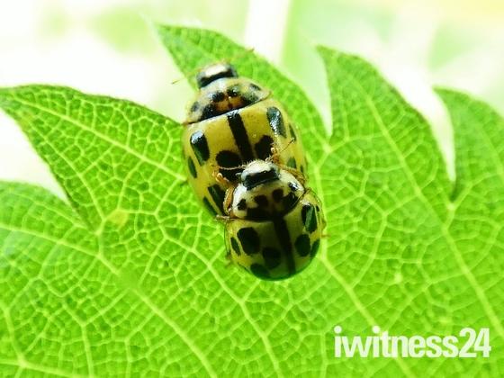 Ladybird Pair
