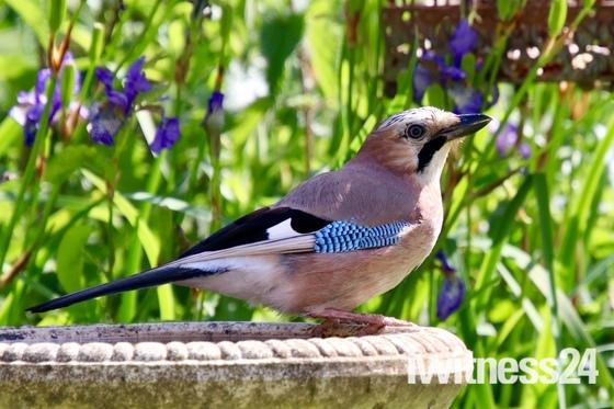 Jay in the garden