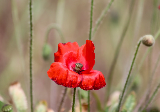 Poignant poppies