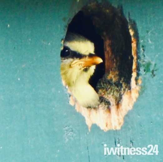 Decision time for fledging blue tit to leave nest