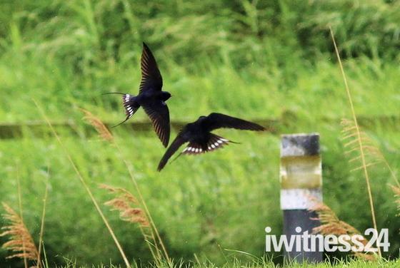 Swifts in flight