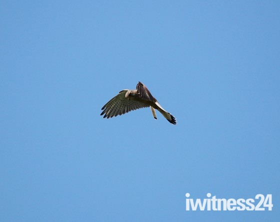 Kestrel flight