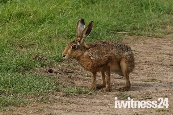 Inquisitive Hare