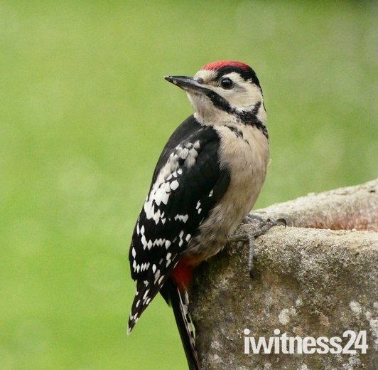 Great Spotted Woodpecker. (photo challenge)