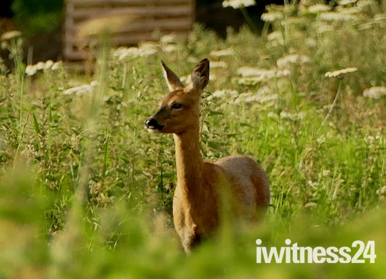 Roe deer. (photo challenge)