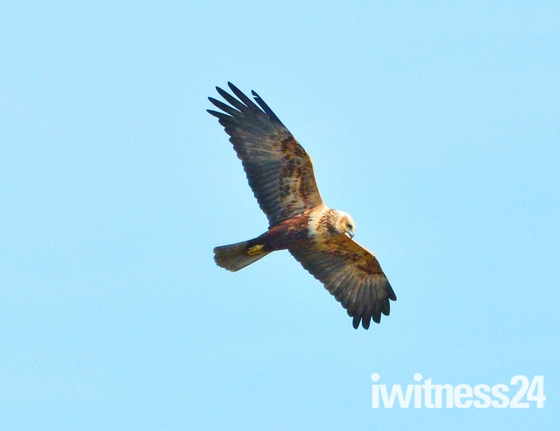 marsh harrier ; nwt cley marsh.