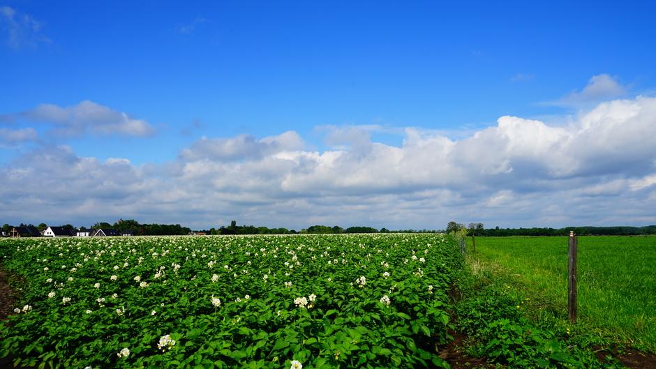 Aardappelplanten in bloei