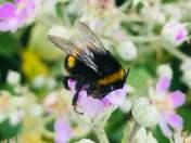 Buff-tailed bumblee bee