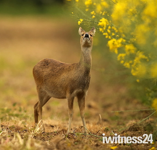 A Chinese water deer.