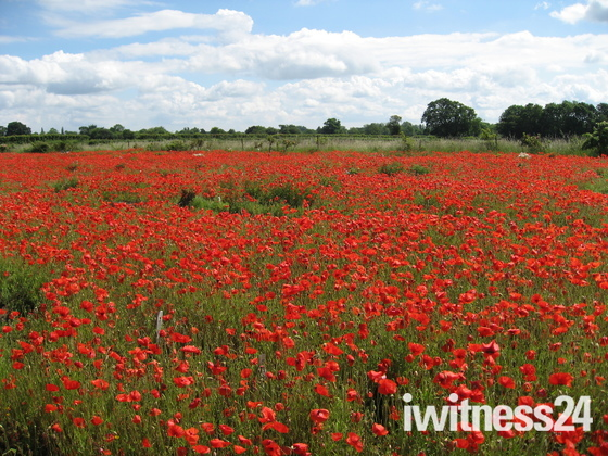 A glorious field of poppies
