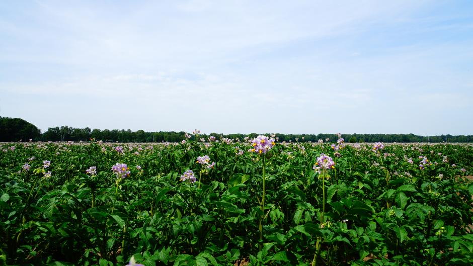 Aardappelplant in bloei