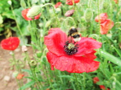 A bumble bee pollinating wild red poppies
