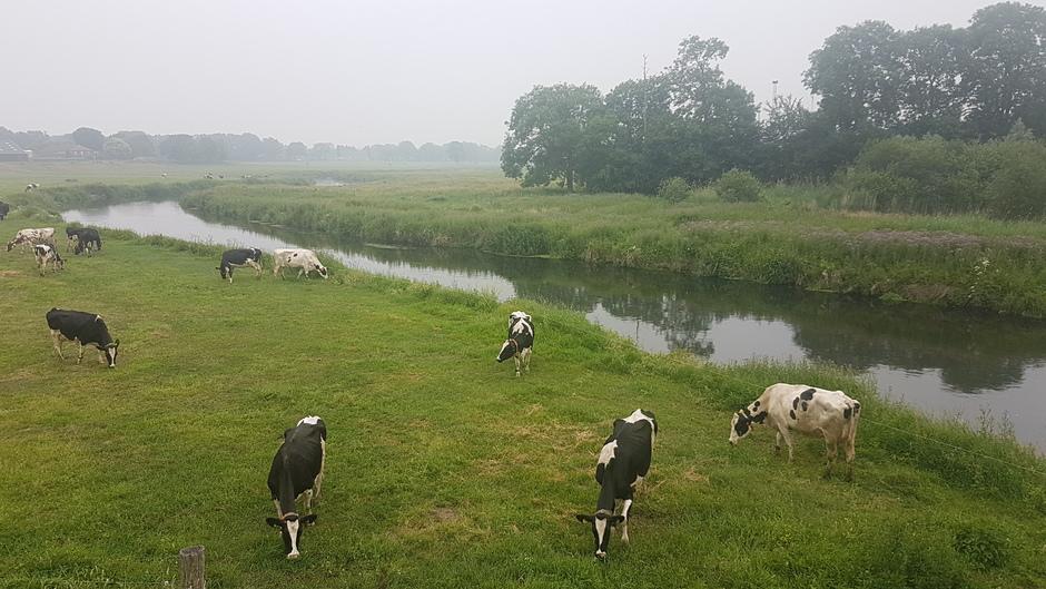 Lichte nevel bij de niers en koeien een rustig door