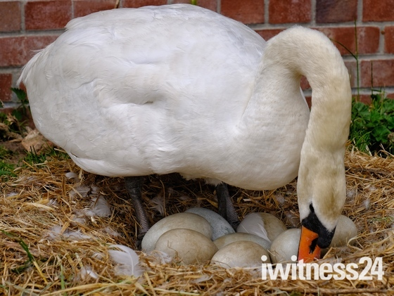 Swan turning eggs