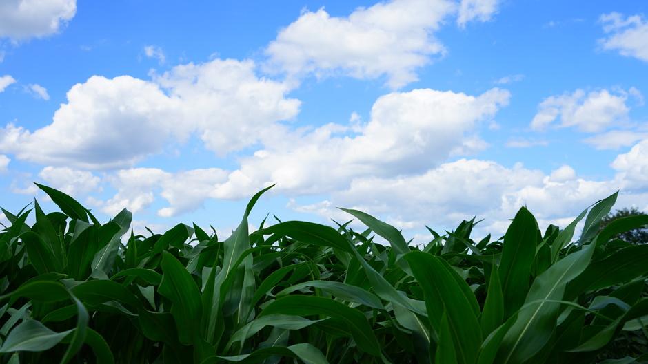 Mais staat er goed bij.