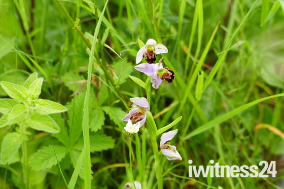 RARE BEE ORCHID