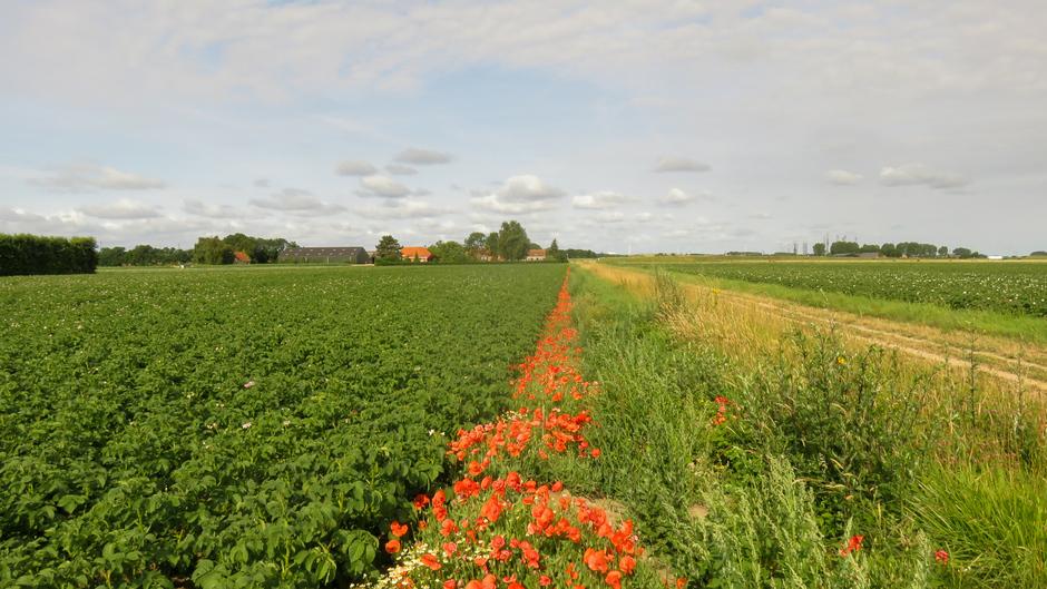 klaprozen en aardappelveld
