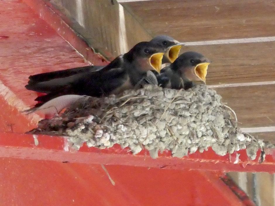 Jonge boerenzwaluwen op het nest