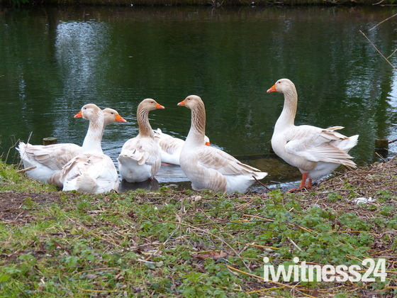 GEESE BY THE RIVER WENSUM