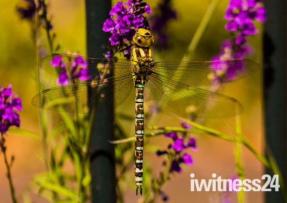 Immature Southern Hawker Dragonfly
