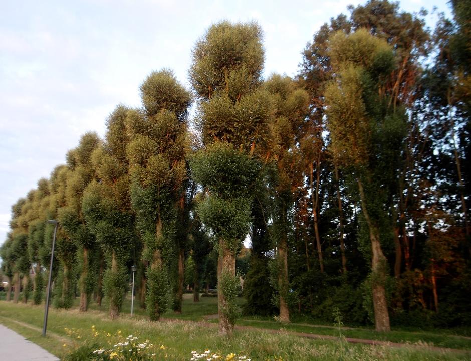 11-07-2019 Nieuw blad aan de gesnoeide bomen