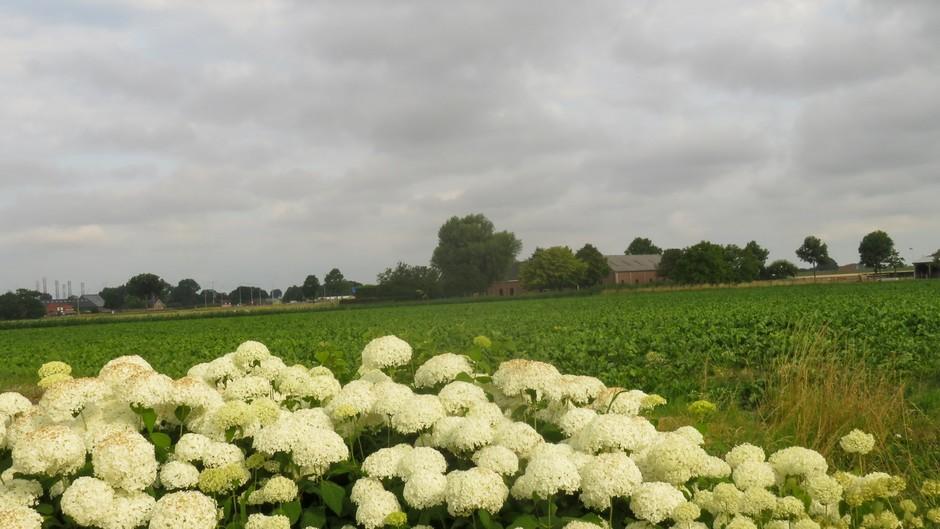 bewolking en hortensia's en suikerbieten