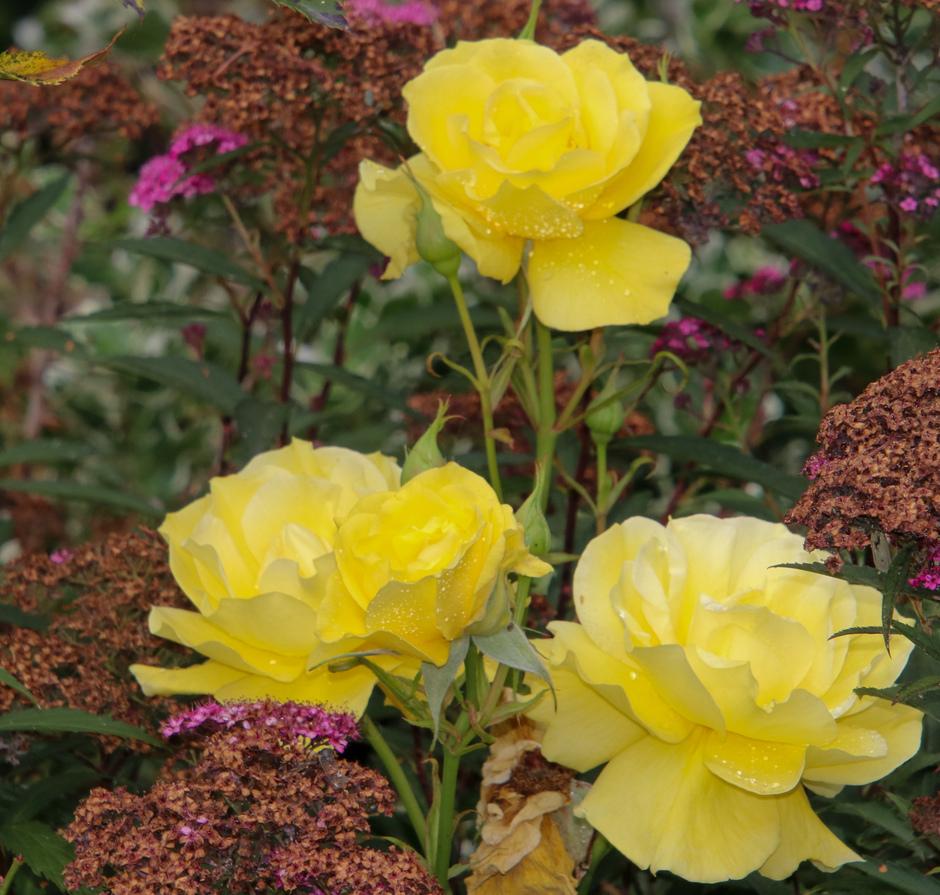 Regendruppels op de rozen