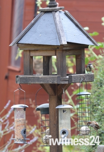 Sparrows have returned to my garden