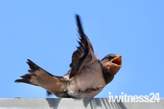 Baby swifts - so precious!