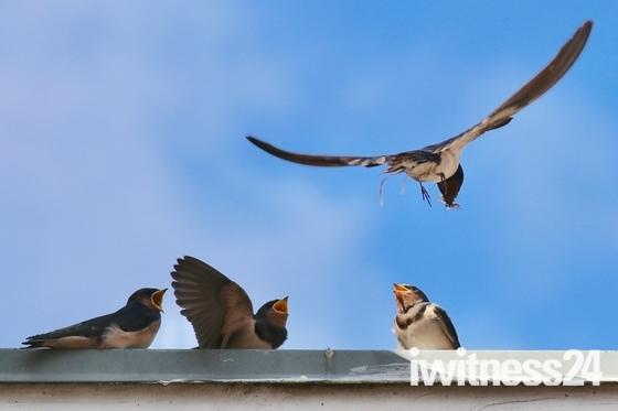 Baby swifts - so precious