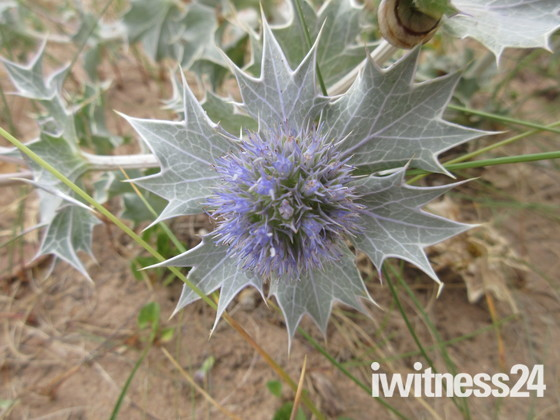 Sea-holly on the Maer