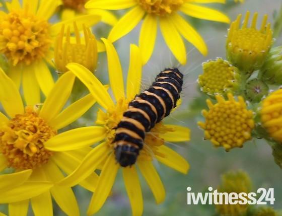 Brean Down Caterpillar