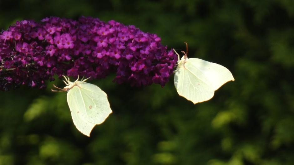 Citroenvlinders op de vlinderstruik