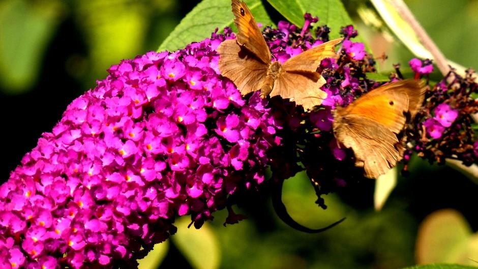 bruin zandoogje; www.vlindermee.nl