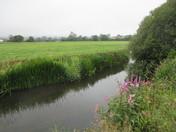 Thriving plants on the River Axe, on Trafalgar Way