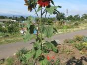 Blooming sunflower