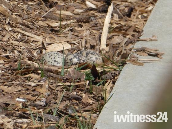 Oystercatcher nesting