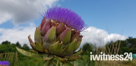 The  Wild  Artichoke