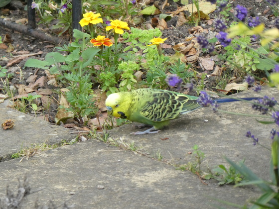 Budgie in our Garden