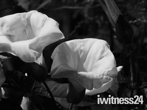 Bindweed Blooms
