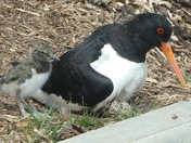 Oystercatcher Chick one more egg to hatch