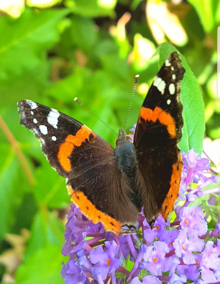 Pauwoog vlinder