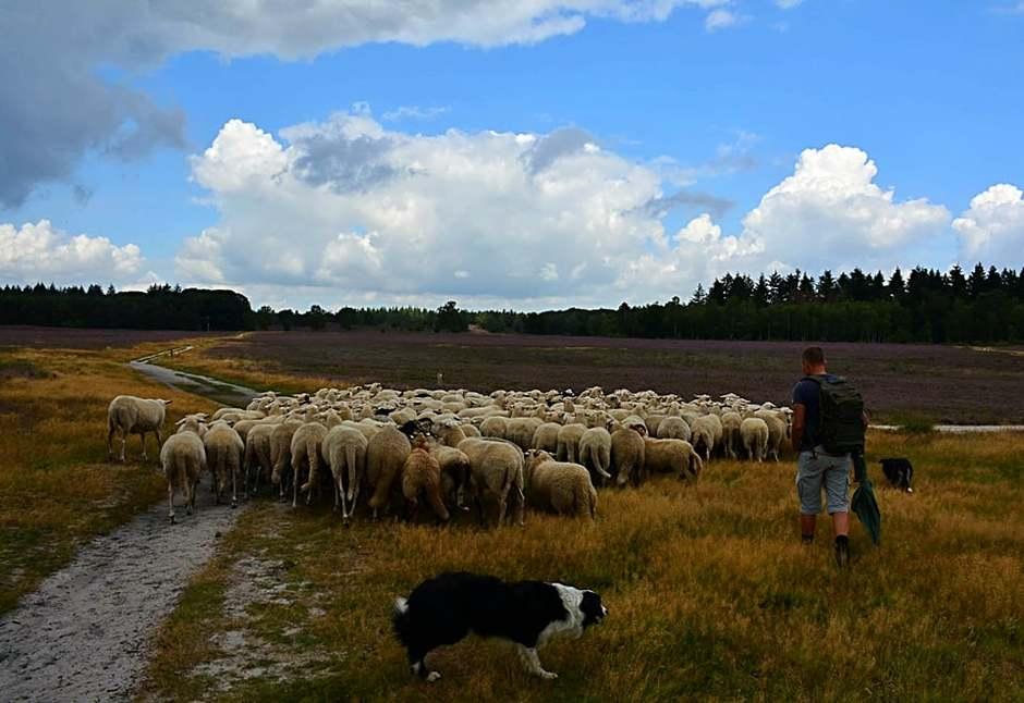 Schaapsherder met zijn kudde en trouwe honden.