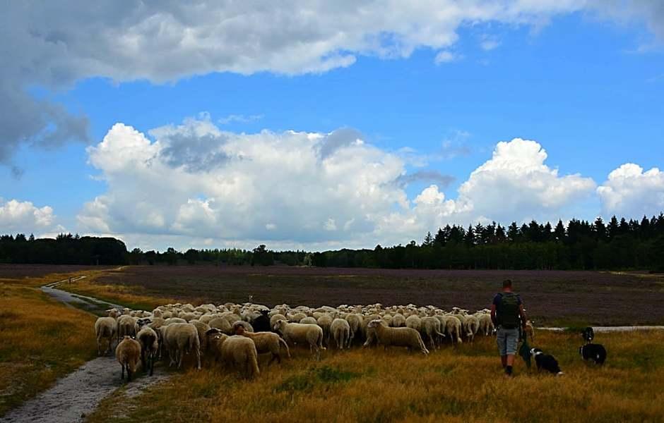 Schaapsherder met de kudde.