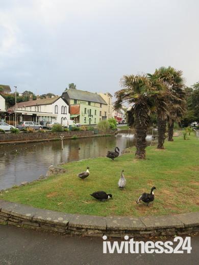 Dawlish swans