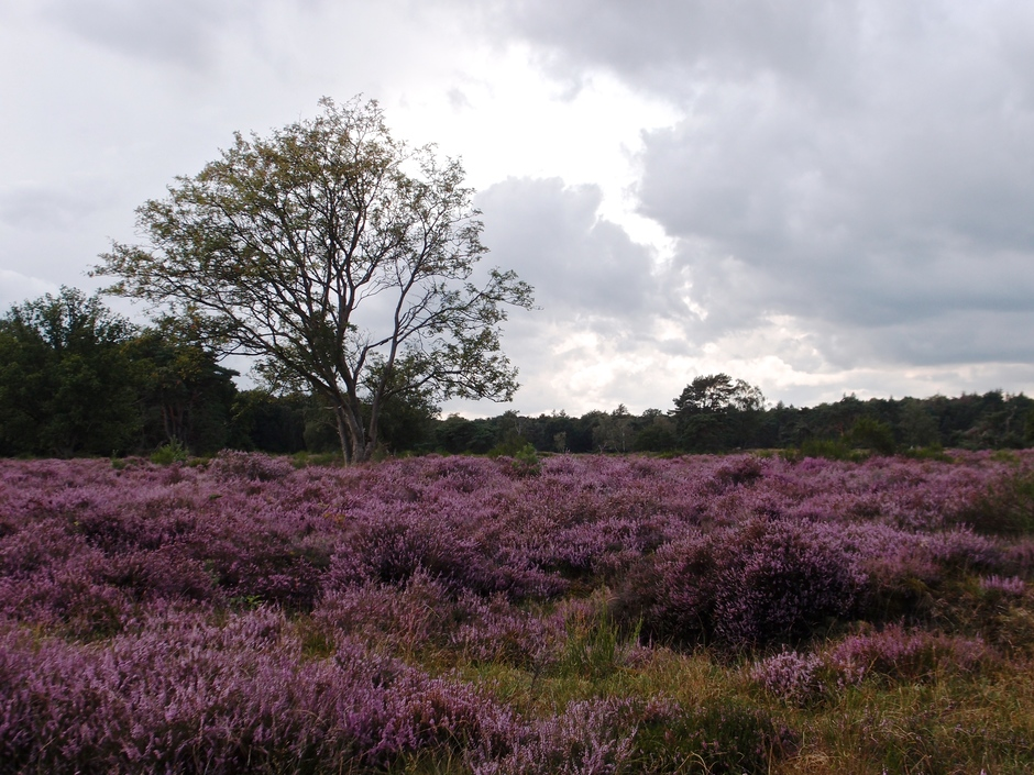 13-08-2019 Prachtige paarse heide,Huizen,Noord-Holland