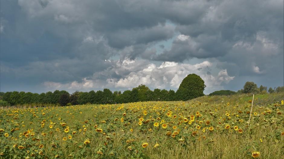 Dreigende lucht en zonnebloemen