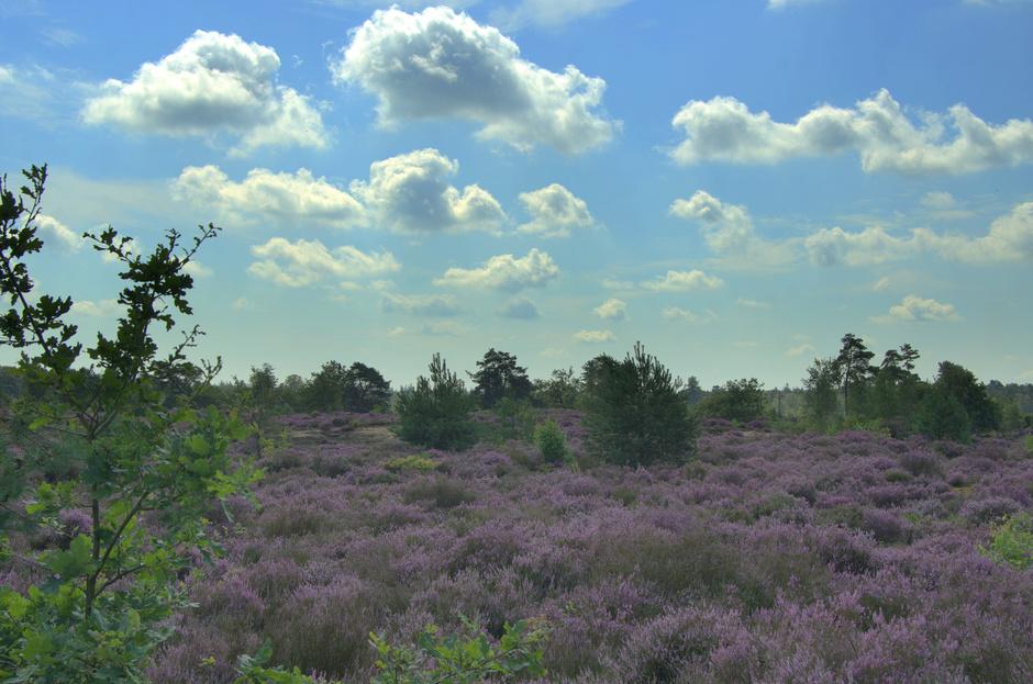De paarse Leusderheide in bloei!