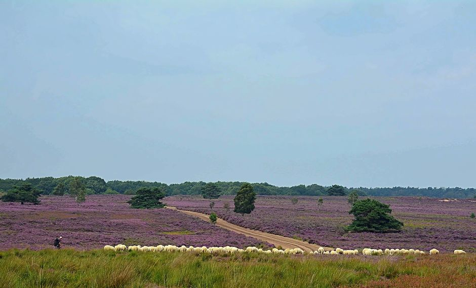 Schaapskudde op de Ermelosche Heide.